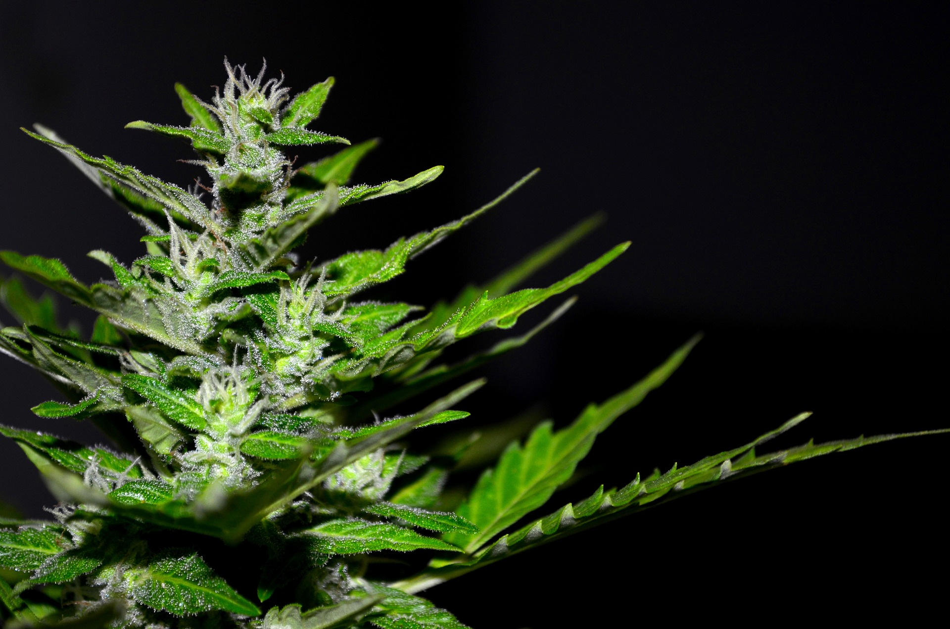 cannabis pflanze thc
